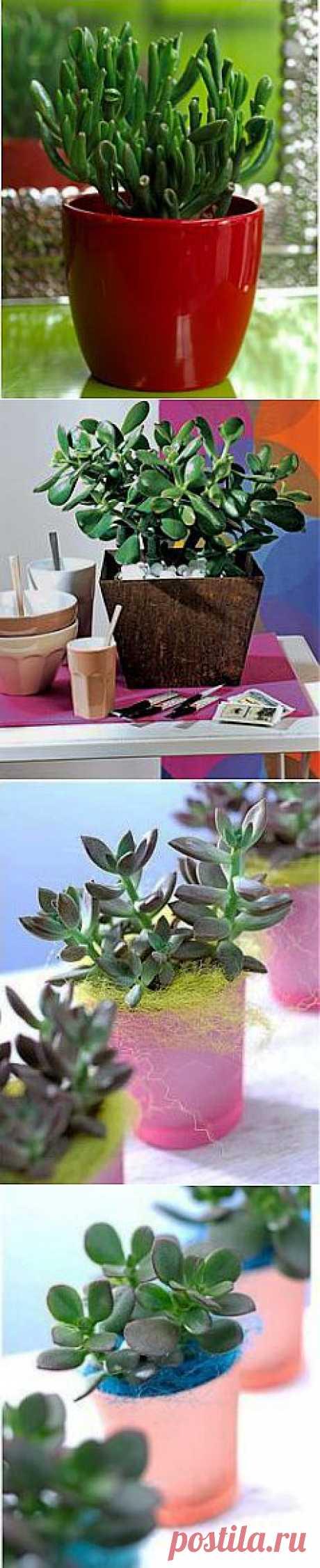 Денежное дерево, толстянка, крассула-особенности ухода и разведения | GreenHome
