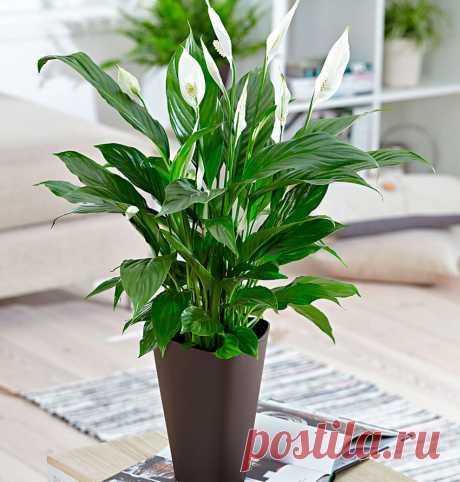 Спатифиллум: уход в домашних условиях, пересадка и размножение Спатифиллум – красивый комнатный цветок, который выращивают многие цветоводы. Свою популярность он завоевал благодаря неприхотливости и простому уходу.