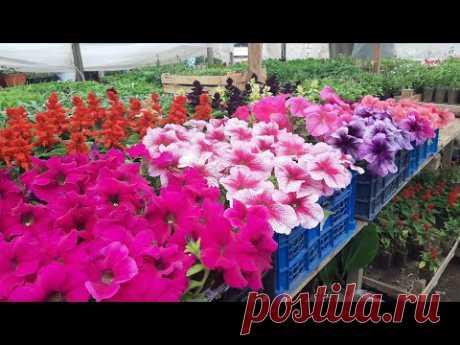 МОЩНАЯ ПОДКОРМКА ПЕТУНИИ для роста🍓ДЛЯ ЦВЕТЕНИЯ И РОСТА КОРНЕЙ цветов и рассады