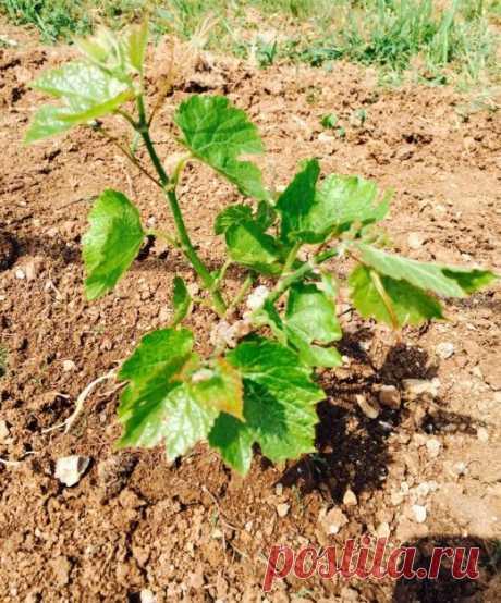 В первую осень почву под виноградом после листопада перекапываем. Молодые кустики в южных регионах у основания на 20-25 см прикрываем землей. В средней полосе укрываем полностью, укладывая побеги…