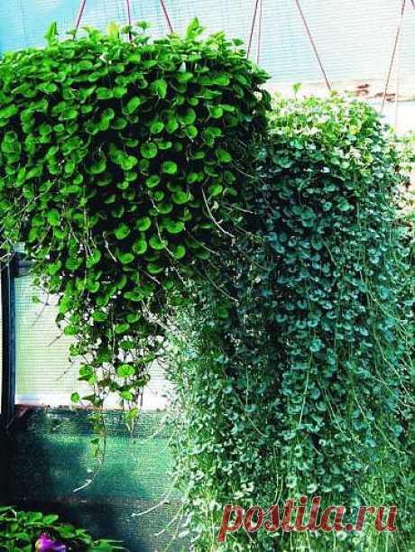 Дихондра - растение-водопад и уход за ним