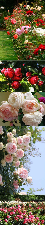 Розы и розовые сады./ LiveInternet