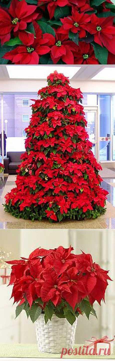 Пуансетия- Рождественская звезда |