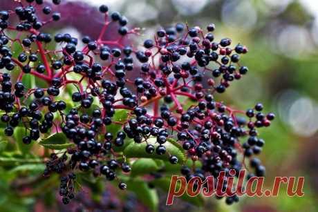Бузина черная: описание ягоды и ее применение