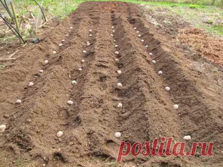Что даёт фольга при посадке картофеля, как её применяют?
