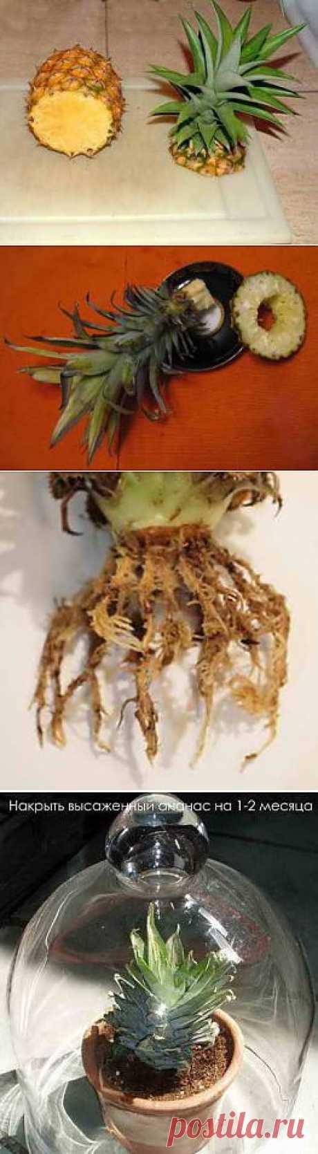Два способа как вырастить ананас в домашних условиях   Дача - впрок