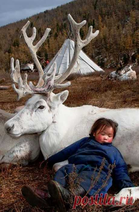 """(950) A """"Dukha"""" Youngster Asleep on The Warmth of The Tribe's Mongolian Reindeer. (Photo By: Hamid Sardar-Afkhami on Shareably.)"""