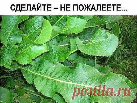 Хрен – единственное растение, способное вытягивать соль через поры кожи.   СДЕЛАЙТЕ – НЕ ПОЖАЛЕЕТЕ!  Избавиться от всей соли, которая накопилась в организме и может привести к солевым болезненным отложениям, помогут листья хрена..   Напоминаю, проверенный и безотказный совет.   Возьмите свежие крупные листья хрена – 2 шт. Перед сном окуните их с двух сторон кипяток и сразу положите на спину, захватывая шею. Обвяжите тканью. Возможно легкое жжение, но боли нет.   Утром осто...