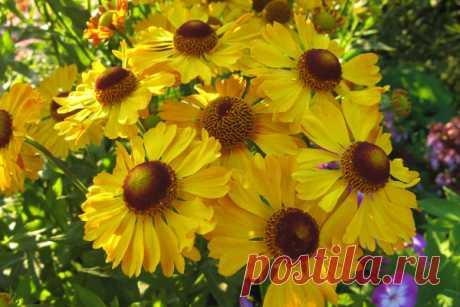 Садовая ромашка: видео-инструкция по выращиванию своими руками, особенности посадки, ухода, фото