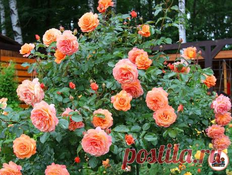 Мои плетистые розы вызывают восторг и восхищение всех соседей. Рассказываю об особенностях посадки | Цветущий сад | Яндекс Дзен