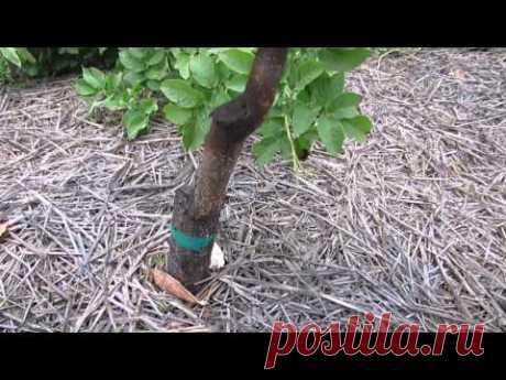 Los agrios contra yablonevoy los pulgones... - YouTube