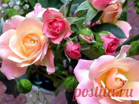 On roses successfully I struggle with a plant louse without chemistry