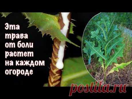 Латук дикий как природное обезболивающее на вашей лужайке и надежное народное средство от боли