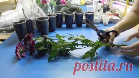 Как вырастить хризантему из букета? Совсем не сложно!