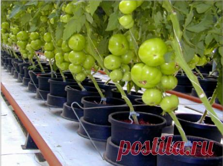 Ранние низкорослые помидоры: особенности выращивания