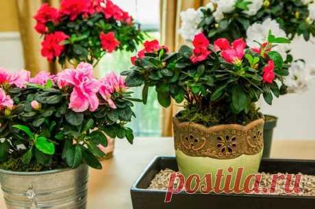Азалия: пересадка растения в домашних условиях Когда требуется азалии пересадка Как только вы приобрели растение, сразу же подберите для него другой горшок! Как правило, цветы продаются в транспортировочных емкостях со скудной почвой. Надеяться на...