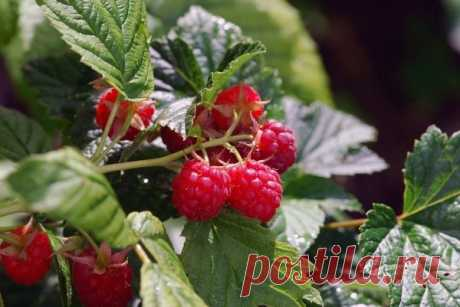 What it is necessary to make in the spring to receive a rich harvest of raspberry in the summer?   moyasotka   Yandex Zen