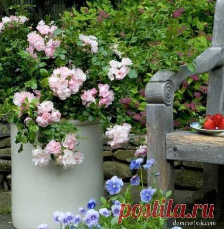 Королевы сада: как выращивать розы в контейнерах | domcvetnik.com