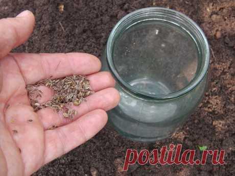 Букетный способ посева укропа под банку — растет зелень, а не зонтики | Собираем урожай | Яндекс Дзен