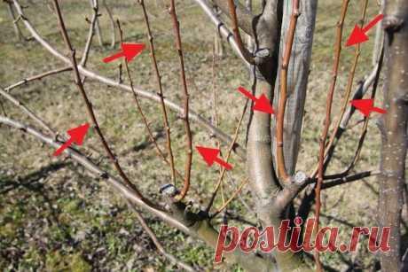 Обрезка яблони осенью: советы и рекомендации, понятные даже начинающих садоводов | Любимая Дача | Яндекс Дзен
