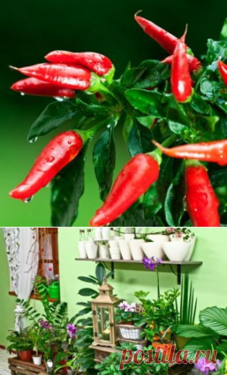 Выращиваем острый перец на подоконнике | Цветы в доме (Усадьба)