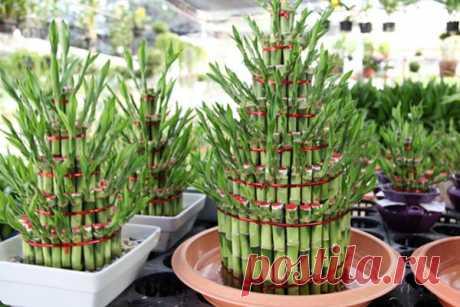 Como cuidar el bambú de la felicidad o dratsenoy sandera