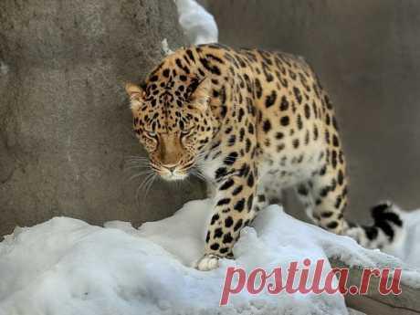 En el territorio de Primorye han hecho los resúmenes de 2017 y han vuelto con las novedades excelentes: el número de las grandes gatas más raras del planeta ha crecido casi en tres veces en comparación con los índices al comienzo del milenio. ¡Y esto sin contar a los completamente pequeños gatitos jóvenes y!