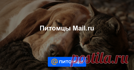 Питомцы Mail.ru Новости, советы и статьи о домашних животных: все о здоровье собаки и кошки, дрессировка, зоопсихология, правильный уход, смешные животные, консультация ветеринаров и кинологов, и многое другое на Питомцы Mail.ru