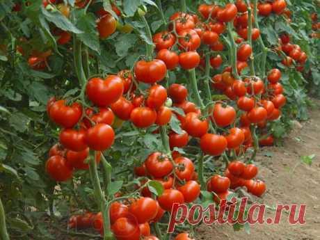 5 советов по выращиванию высокорослых томатов от экспертов