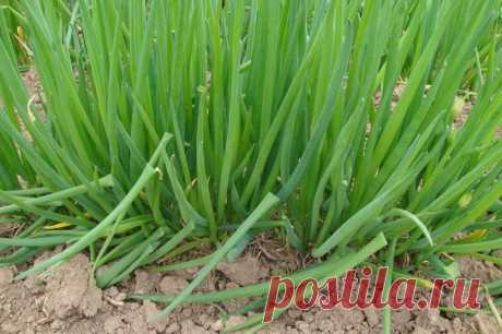 Onions grades for cultivation of greens — 6 hundred parts