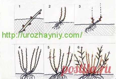 Выращивание черной смородины из черенка