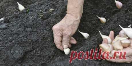 Как вырастить крупный чеснок