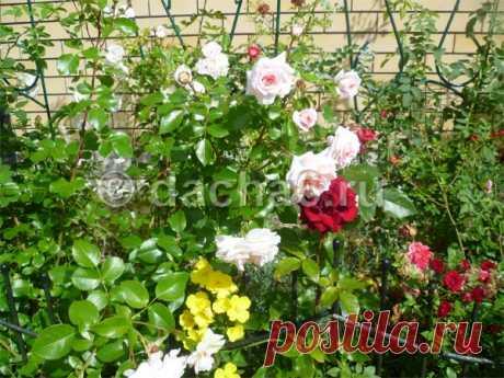 Уход за розами в июле и августе