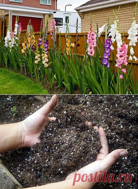 Гладиолусы: посадка и уход за цветами на даче и в горшке