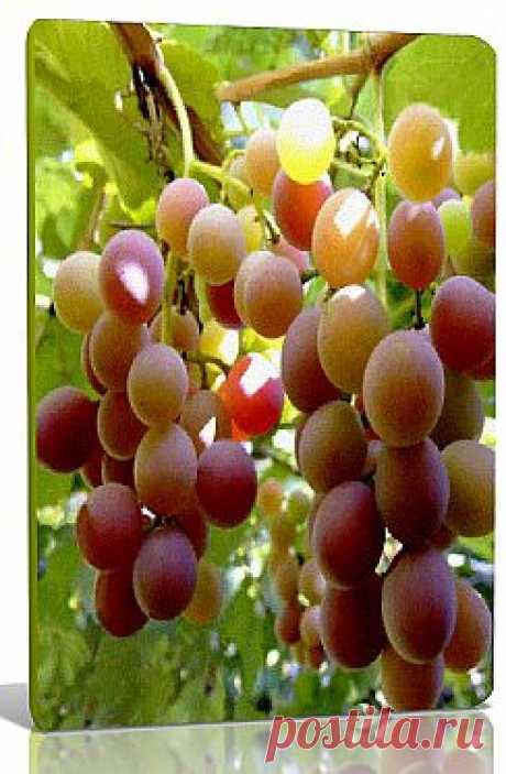 Виноград морозоустойчивый Виноград, это конечно же незабываемый вкус и незабываемое игристое, наполненное теплом вино.