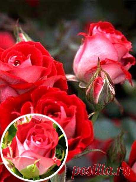Бордюрные розы выгодная цена в Киеве, Украине, купить, интернет-магазин svitroslyn.ua