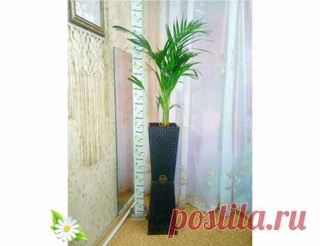 Пальма Дипсис Высота 1,40 Возраст 4 года, Кашпо напольное, пластик. Не требует пересадки. Челябинск 8-950-73-110-74 Лана Влади. Комнатные растения