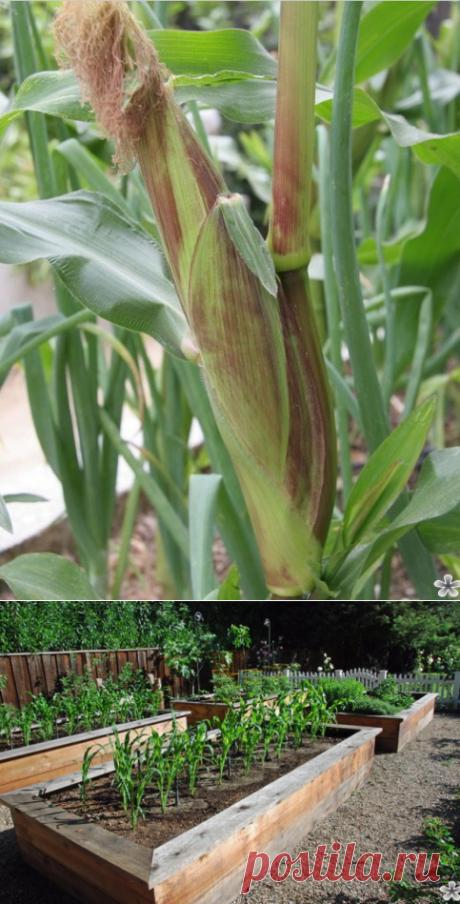 Как вырастить кукурузу на приусадебном участке | zelenysad.ru