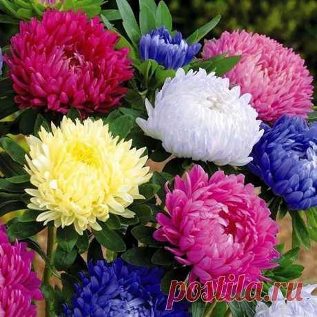Астра.  По праву этот цветок считается королевой осеннего сада, поздняя астра поражает своим великолепием и разнообразием, на сегодняшний день существуют астры самых разнообразных расцветок, будь то синие, фиолетовые, розовые, красные или белые. Как правило, астры высаживают «ковром», а не по одной, ухаживать за этим цветком совершенно несложно, главное — следить за влажностью почвы и, в случае пересыхания, обязательно ее своевременно увлажнять. Также важную роль для выращ...