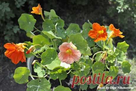 Nasturtium – a drugstore in our garden! - Diaries of summer residents