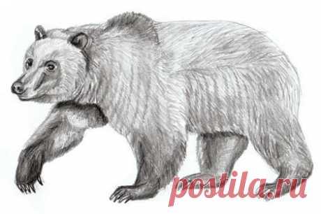 Рисуем правдоподобного медведя — Сделай сам, идеи для творчества - DIY Ideas