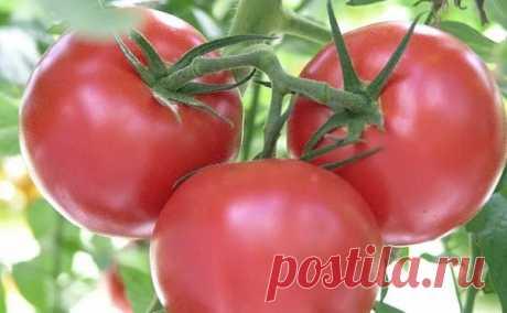 Лучшие сорта помидор для открытого грунта 2020: отзывы, фото Лучшие сорта помидор для открытого грунта 2020: отзывы, фото. Для средней полосы, Урала и Сибири. Самые лучшие сорта самоопыляемые, раннеспелые и урожайные.