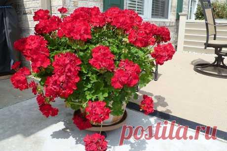 Правила обрезки герани для пышного цветения