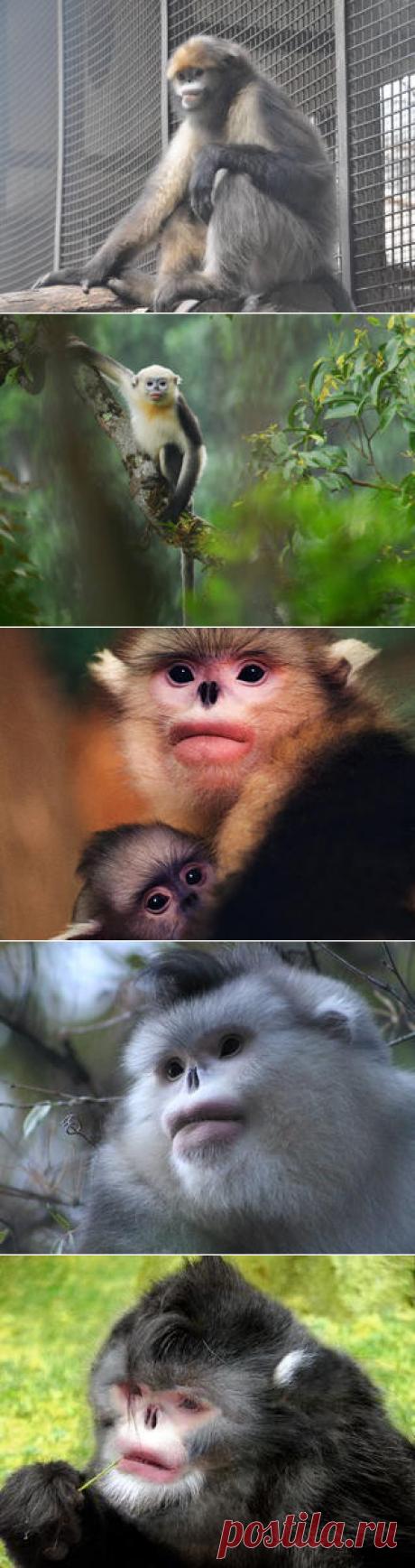 Смотреть изображения ринопитеков | Зооляндия