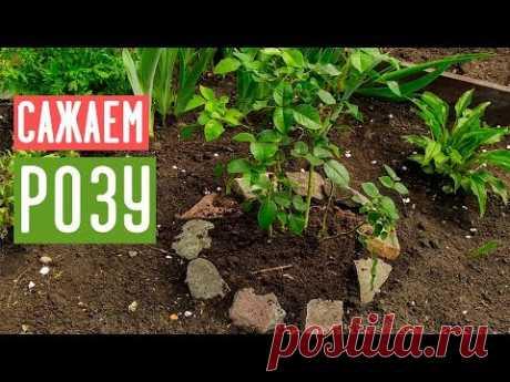 ПОСАДКА РОЗЫ ВЕСНОЙ 🌹 Самые удобные способы посадки / Садовый гид