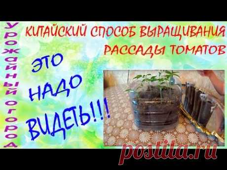 CHINESE WAY OF CULTIVATION OF SEEDLING OF TOMATOES!!! IT'S WORTH SEEING!!!