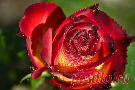 """Разнеслись ароматы по саду,И вскружилась моя голова!Чудной розе всегда буду рада —И не выразить это в словах!"""""""