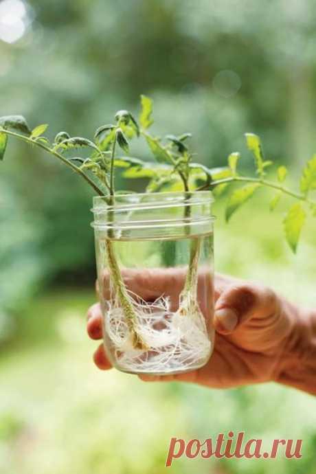 Китайский способ выращивания рассады томатов | Антонов Сад | Яндекс Дзен