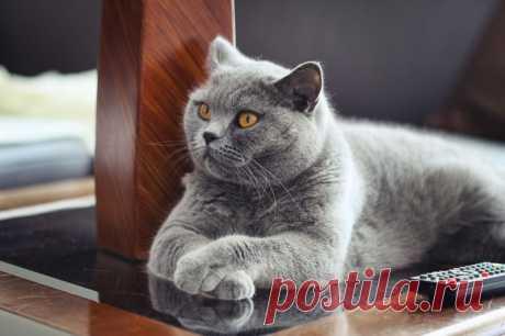 Razas más caras de las gatas
