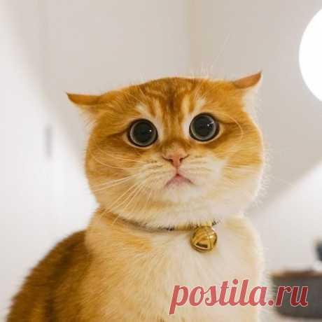 Самый потешный большеглазый котик, которого зовут Pisco